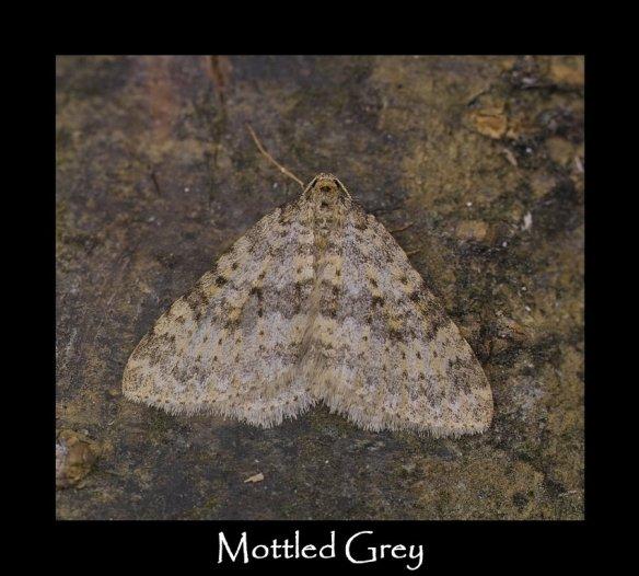 M Mottled Grey