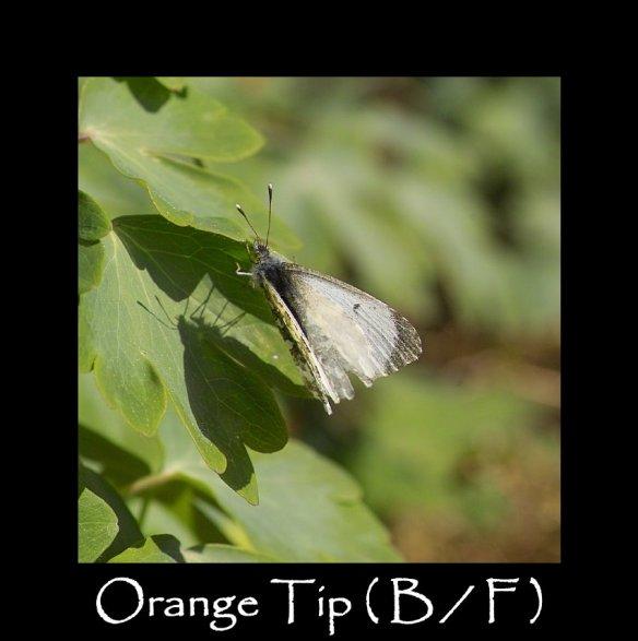 M Orange Tip ( B F)