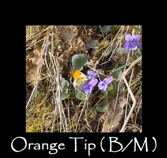 M Orange Tip ( B M )