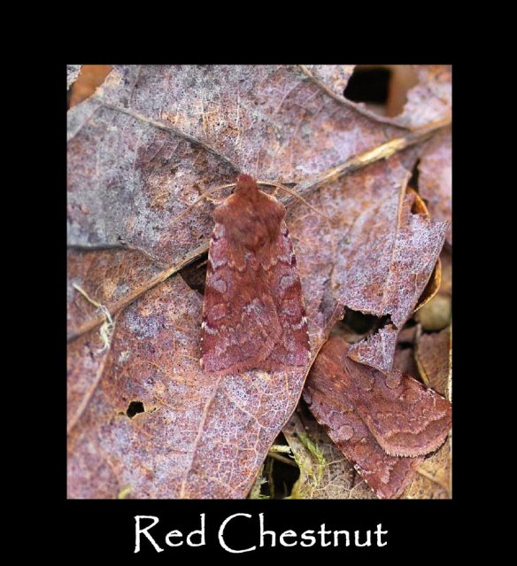 M Red Chestnut