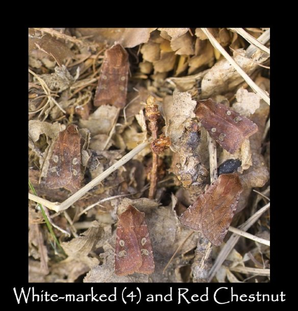 M White-marked (4) and Red Chestnut