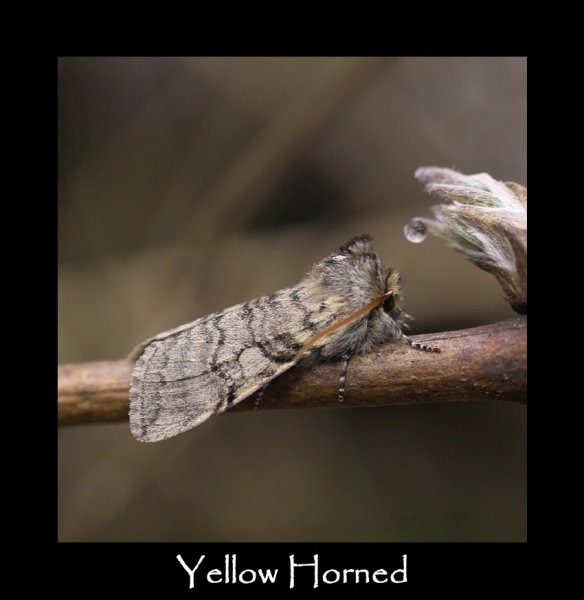 M Yellow Horned