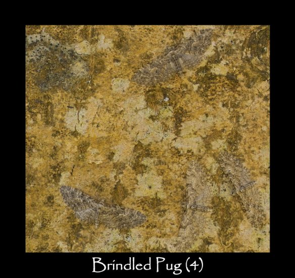 S Brindled Pug (4)
