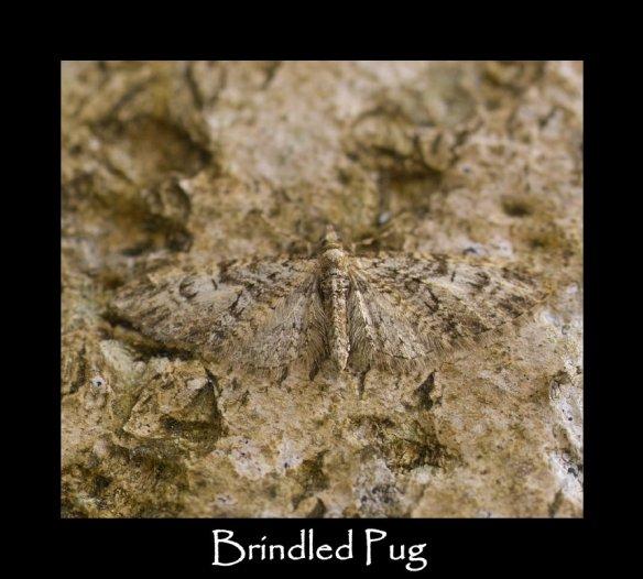 S Brindled Pug