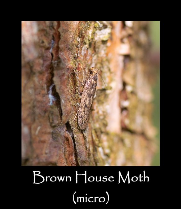 S Brown House Moth (micro) (2)