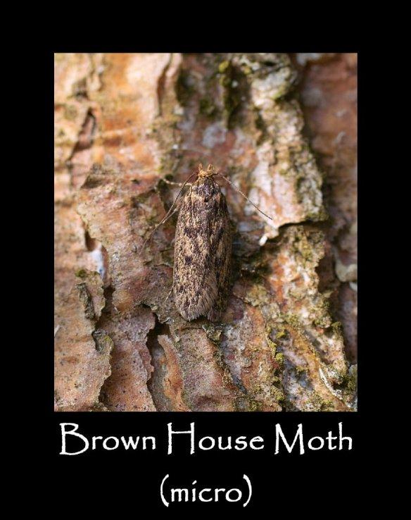 S Brown House Moth (micro)