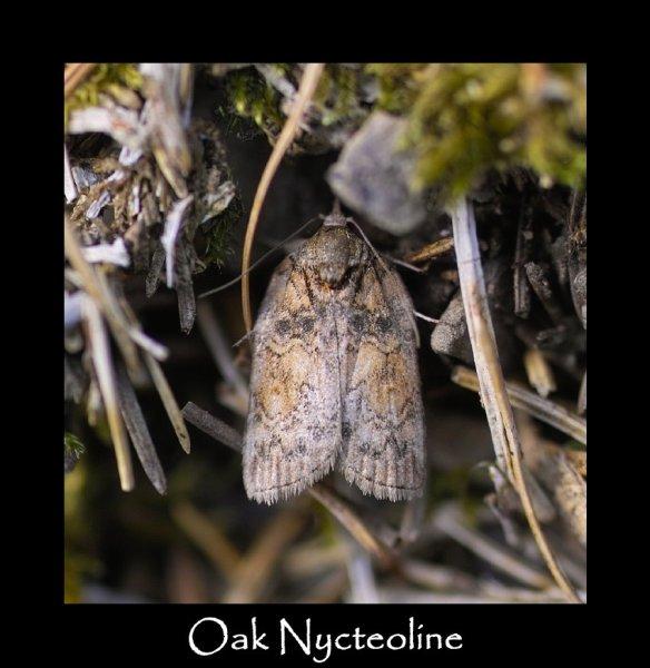 S Oak Nycteoline