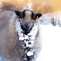 Snow Sheep; Colour Perception In a Monochrome World; Otter Show - Snow Tunnel.