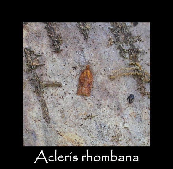 T Acleris rhombana 2