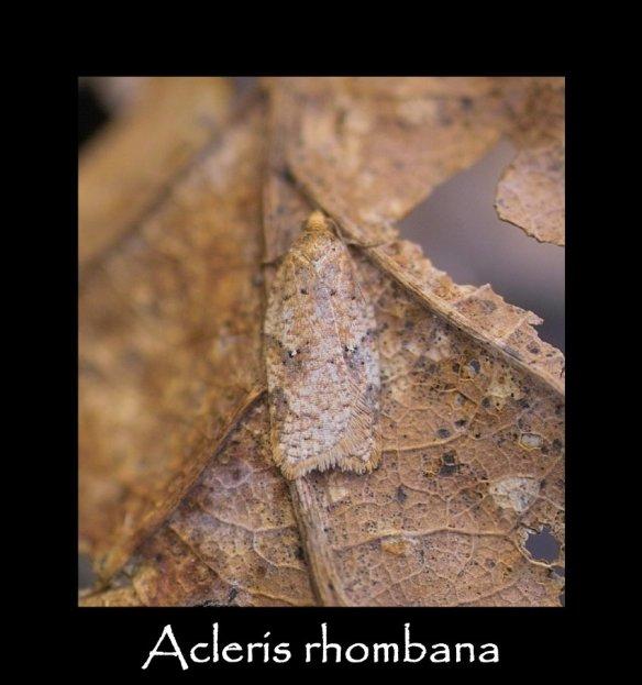 T Acleris rhombana