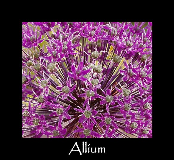 L aa 5Allium