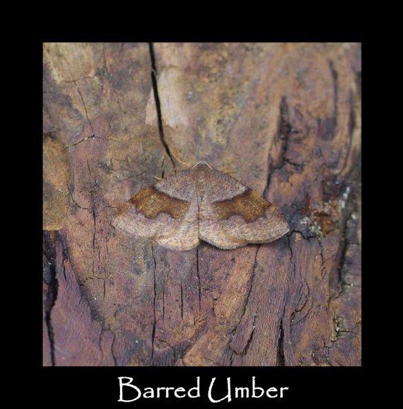 L Barred Umber