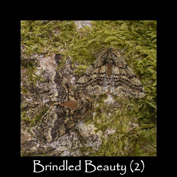 L Brindled Beauty