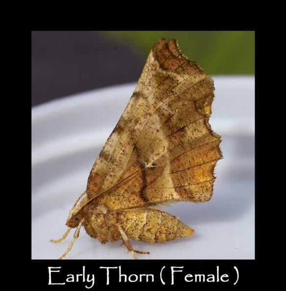L Early Thorn ( Female )