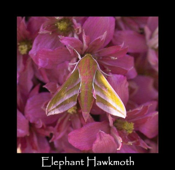 L Elephant Hawkmoth