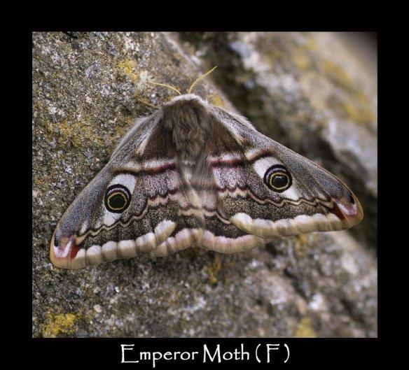 L Emperor Moth F