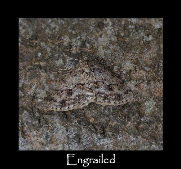 L Engrailed