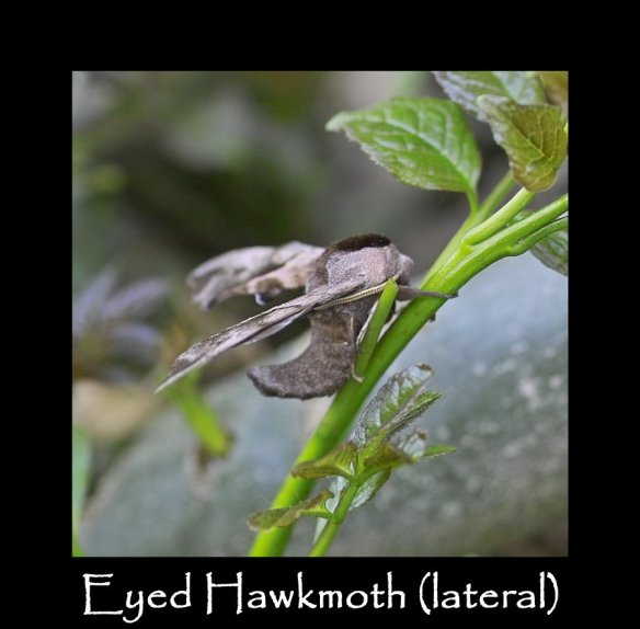 L Eyed Hawkmoth (lateral)