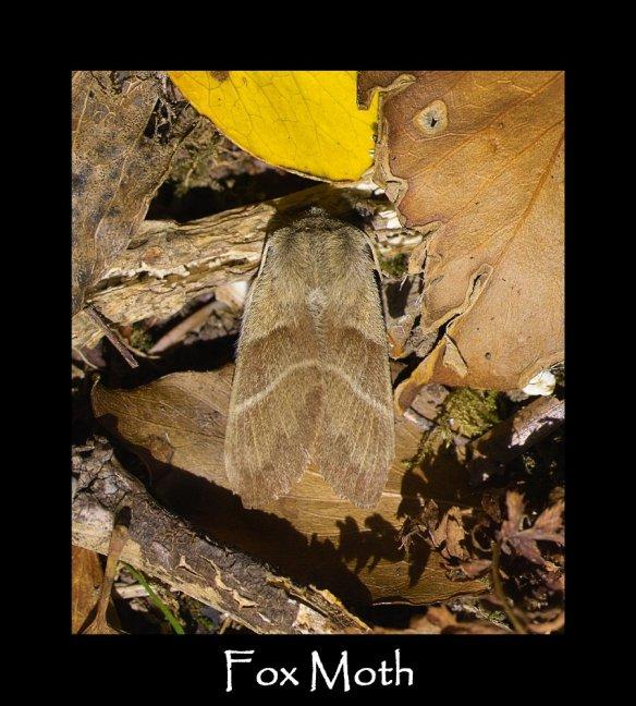 L Fox Moth