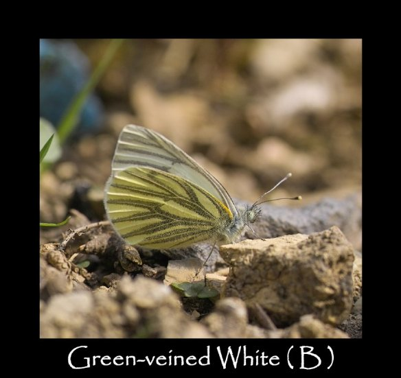 L Green-veined White ( B ) 2