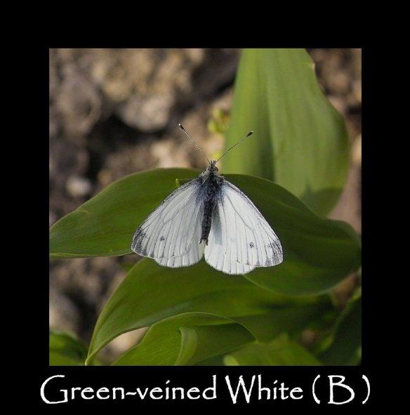 L Green-veined White ( B )