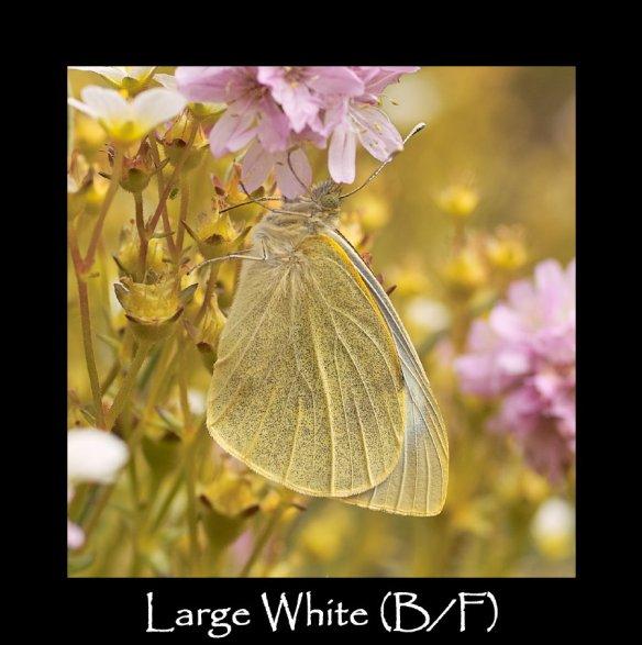L Large White B F (2)