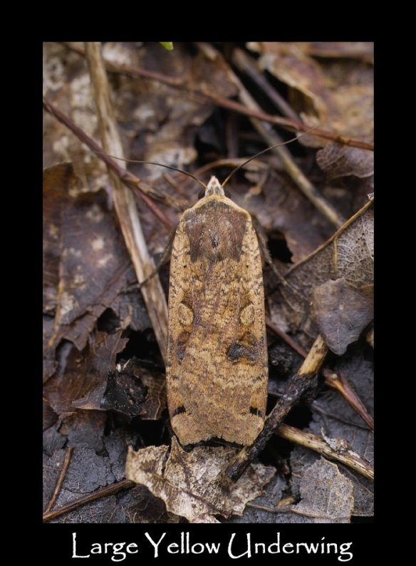 L Large Yellow Underwing