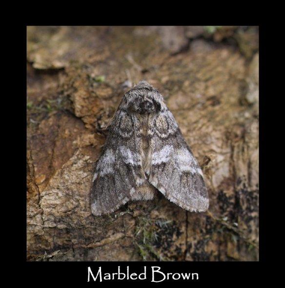 L Marbled Brown