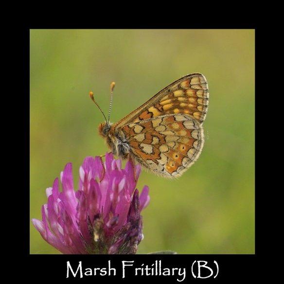 L Marsh Fritillary (B) 2