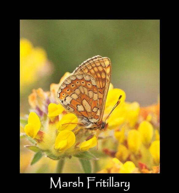 L Marsh Fritillary (B) (3)
