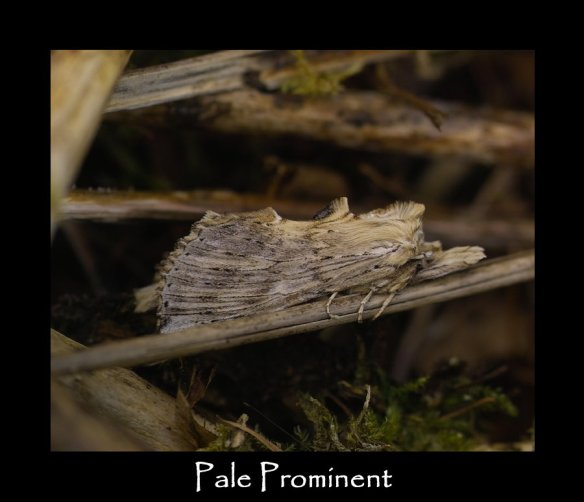 L Pale Prominent