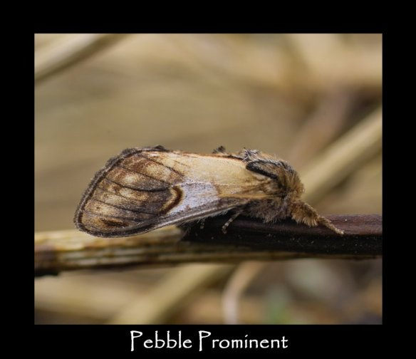 L Pebble Prominent