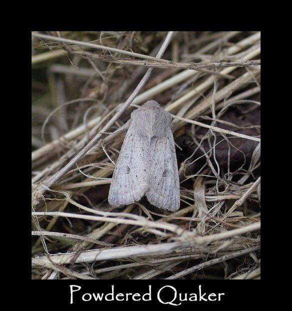 L Powdered Quaker