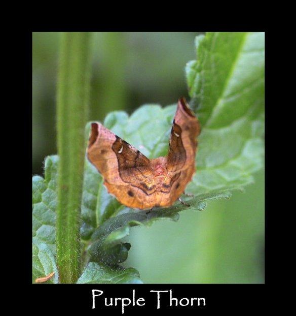 L Purple Thorn