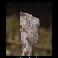 Garden Moths - Diary 05 May