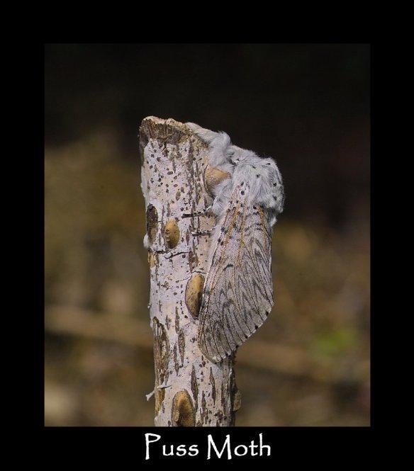 L Puss Moth