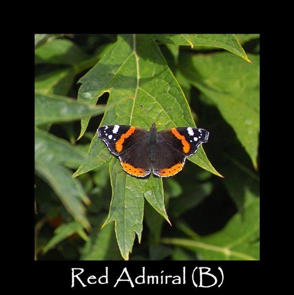 L Red Admiral (B)