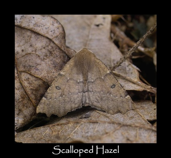 L Scalloped Hazel