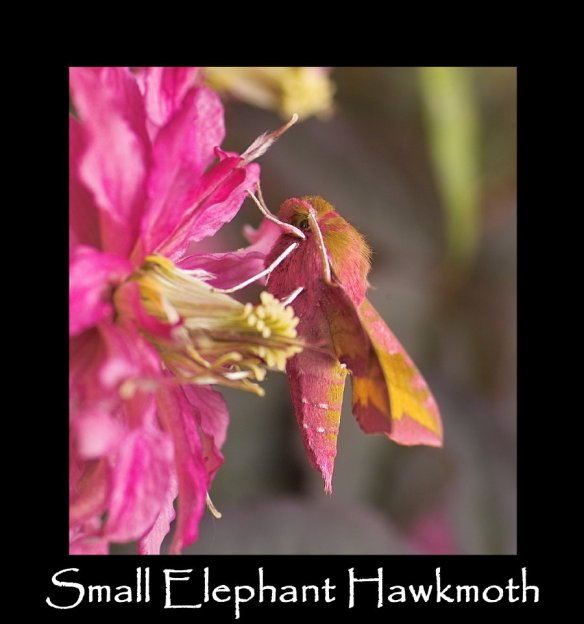 L Small Elephant Hawkmoth 2