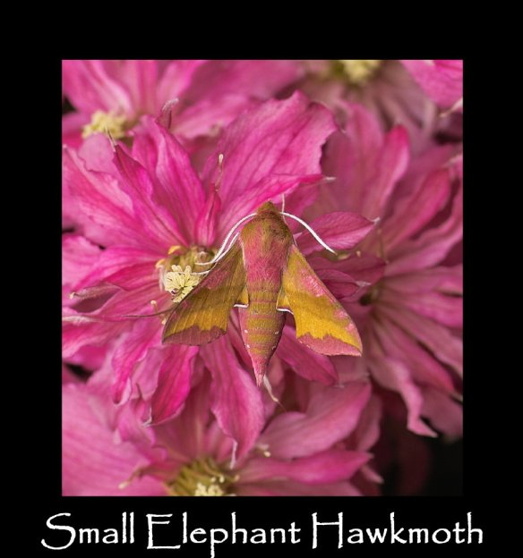 L Small Elephant Hawkmoth