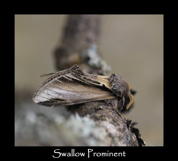 L Swallow Prominent