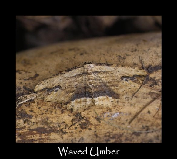 L Waved Umber