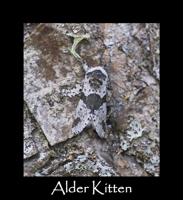 M Alder Kitten 2