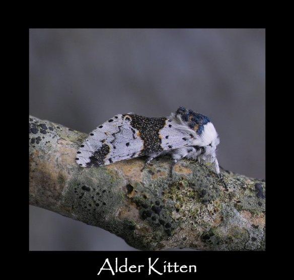 M Alder Kitten