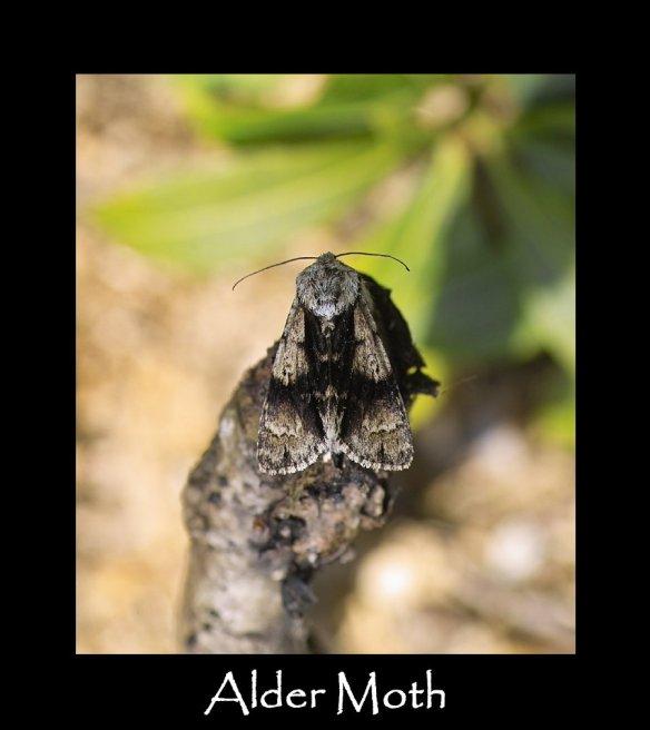 M Alder Moth