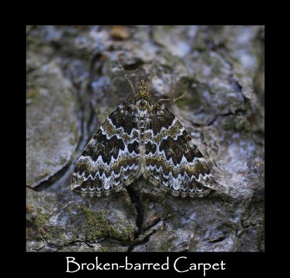 M Broken barred Carpet