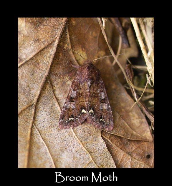 M Broom Moth