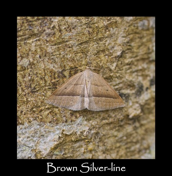 M Brown Silver-line