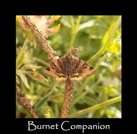 M Burnet Companion (2)