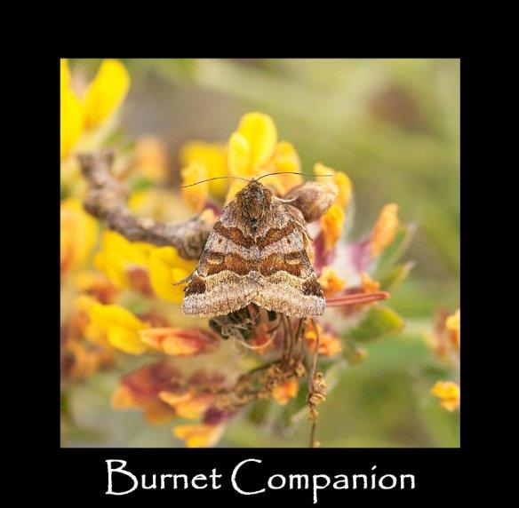 M Burnet Companion